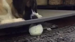 Brown white dog white ball under bed - Video