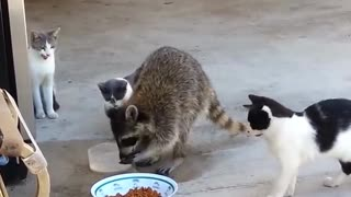 Funniest Raccoon and Cat Moments