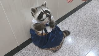Raccoon is wearing Hanbok.Korean traditional clothes