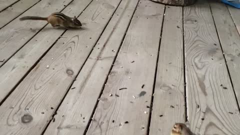 Two chipmunks that do not share well