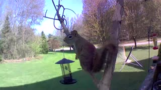 These Squirrels Go Out on a Limb. Will they get what they...