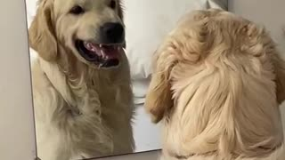 Golden Retriever practices his mean face in the mirror