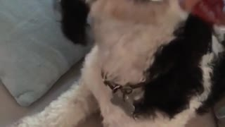 Curly black white dog eats whip cream