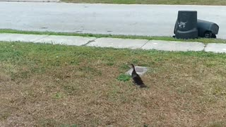 Reuniting baby duck with it's family!!