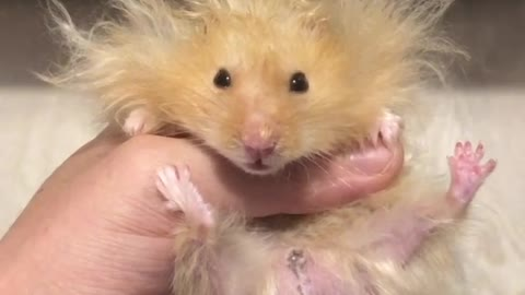 Hamster rocks hilarious lion-styled hairdo