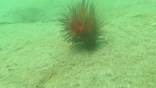Curious Crab Carrying a Sea Urchin with Cardinal Fish - Video