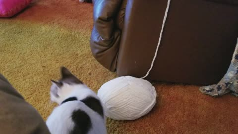 Cat Criminal Steals Ball Of Yarn, Leaving Behind Trail Of Evidence