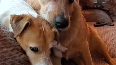 Big dog puts little dog in headlock