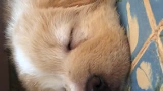 Brown puppy sleeping on blue carpet - Video