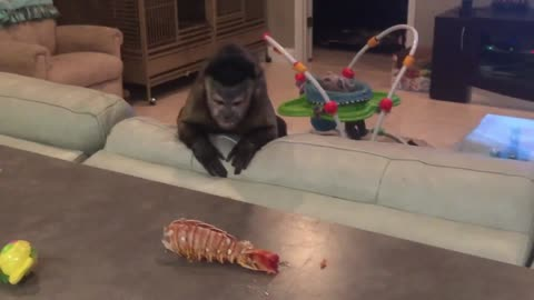 Capuchin Monkey Has Mind Blown By Lobster Tail