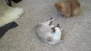 Cat chasing laser receives unexpected help