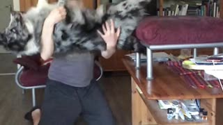 Australian Shepherd performs trustfall with owner in epic slow motion