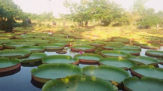 Giant Victoria Lilies In Phitsanulok, northern Thailand - Video