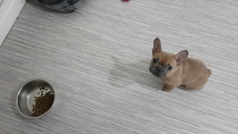 Clever puppy patiently waits for his dinner