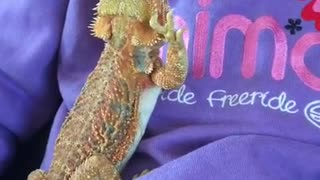 Female Bearded Dragon Waving at Male on Child
