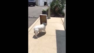 Bulldog is blinded by box and keeps walking into walls - Video