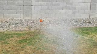 Boxer Tries to Bite Water Coming from Hose