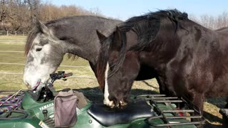 Curious Horses chewing on ATV - Video