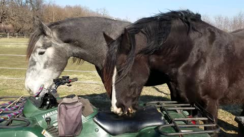 Curious Horses chewing on ATV