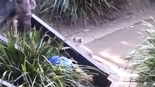 Angry koala chases zoo keeper and then fights with a quokka!