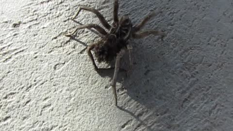 Mamma Wolf Spider and Her Babies