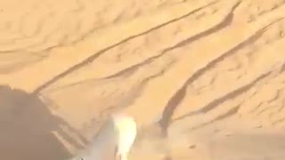 Arabian dogs Hunting deer in desert