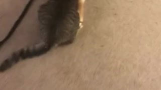 French Bulldog takes cat for a walk
