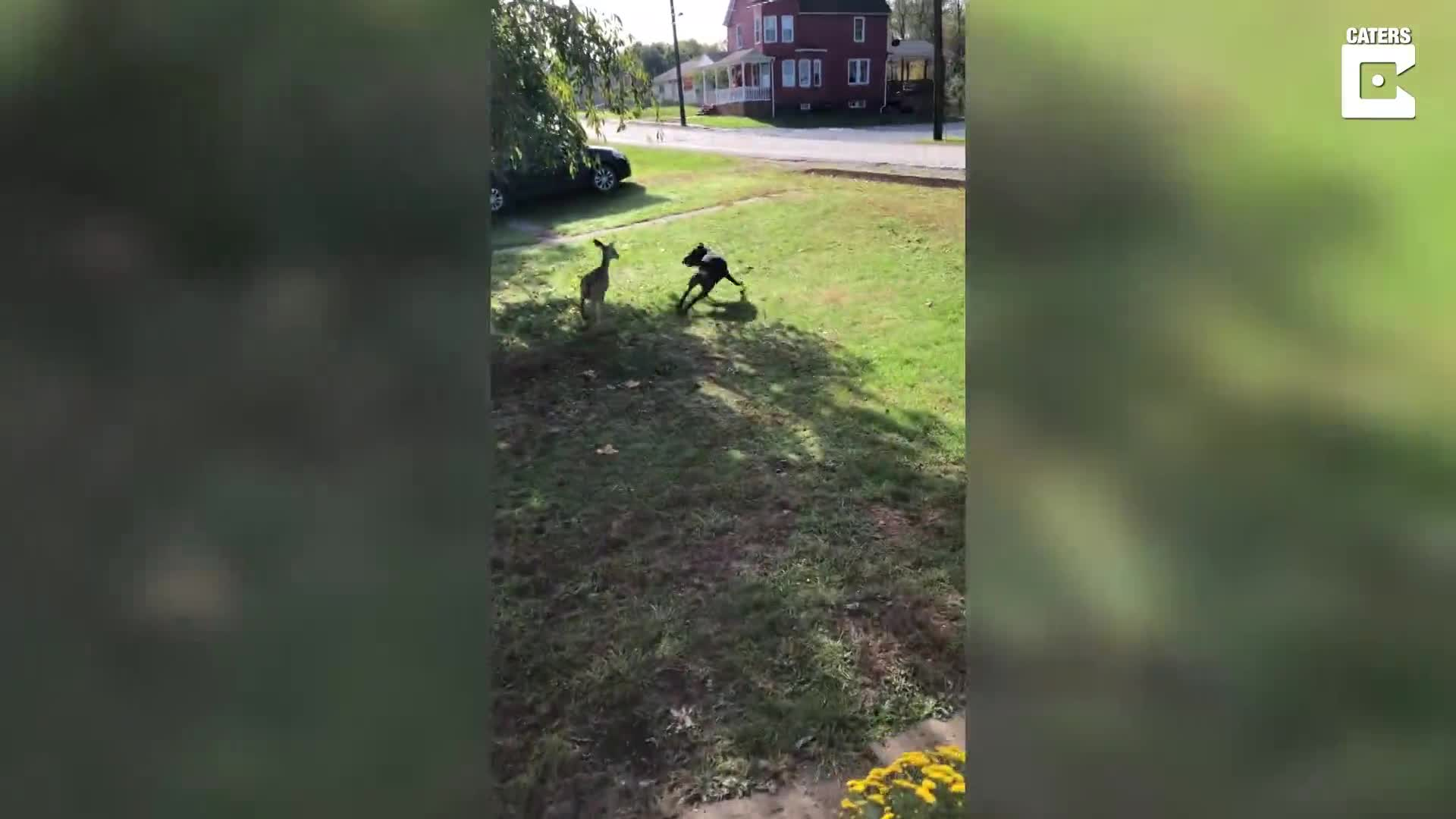 PLAYFUL DEER BOUNDS AFTER FAMILY DOG IN GARDEN EVEN LETTING OWNERS TICKLE ITS HEAD