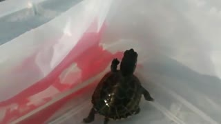 Turtle Vs Wall - Video