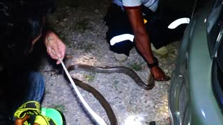 Massive Snake Caught and Relocated - Video