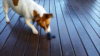 Dog Tries To Figure Out Fidget Spinner - Video