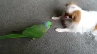Japanese Chin and African Ring Neck Parrot Play  - Video