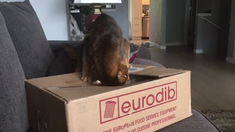 Cat Invades Box For It's Precious Packing Peanut