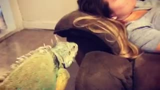 Iguana jumps on couch and startles girl - Video