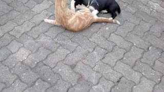 Puppy wrestles with cat - Video