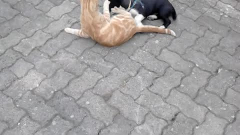Puppy wrestles with cat