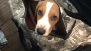 Basset Hound in suitcase is ready to travel - Video