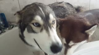 Husky bath time!  - Video
