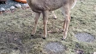 Friendly Deer Enjoys Oatmeal Cookies