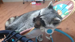 Raccoon lies in the baby reclined cradle and puts saliva on his hands to wash his face.