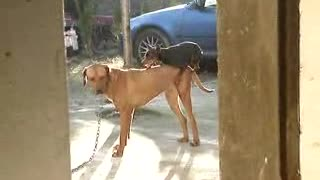 Crazy Funny Little Dog tries with big dogs - Video