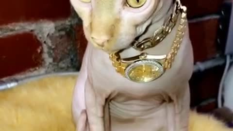 Bald cat with gold jewelry and gold watch on neck