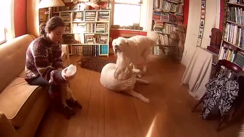 Guard dogs wrestle while in the office while orphan lamb is bottle fed.