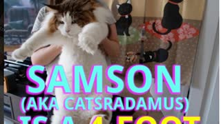 This Might Be The Largest Cat In The World - Video