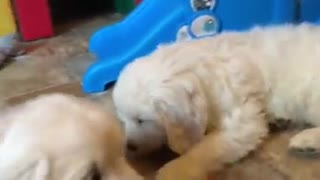 Cachorros de Golden Retrievers comen zanahorias bebé - Video