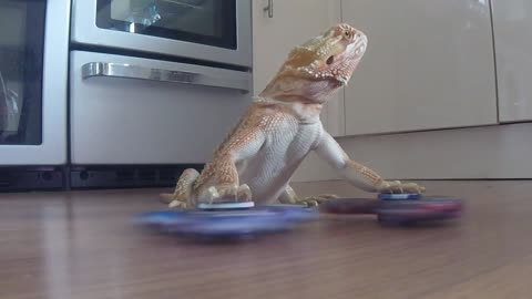 Bearded Dragon is an expert fidget spinner