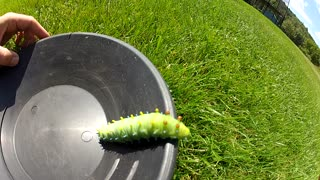 Gigantic caterpillar found in backyard - Video