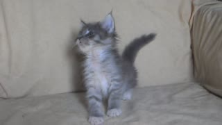 Johnnie the Maine Coon Kitty - Video