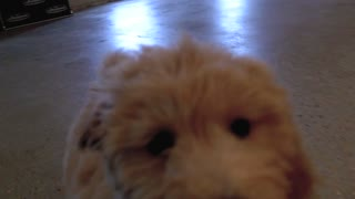 Playing With Franklin The Goldendoodle