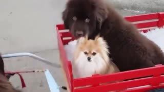 Newfoundland dog pulls puppies around in draft cart